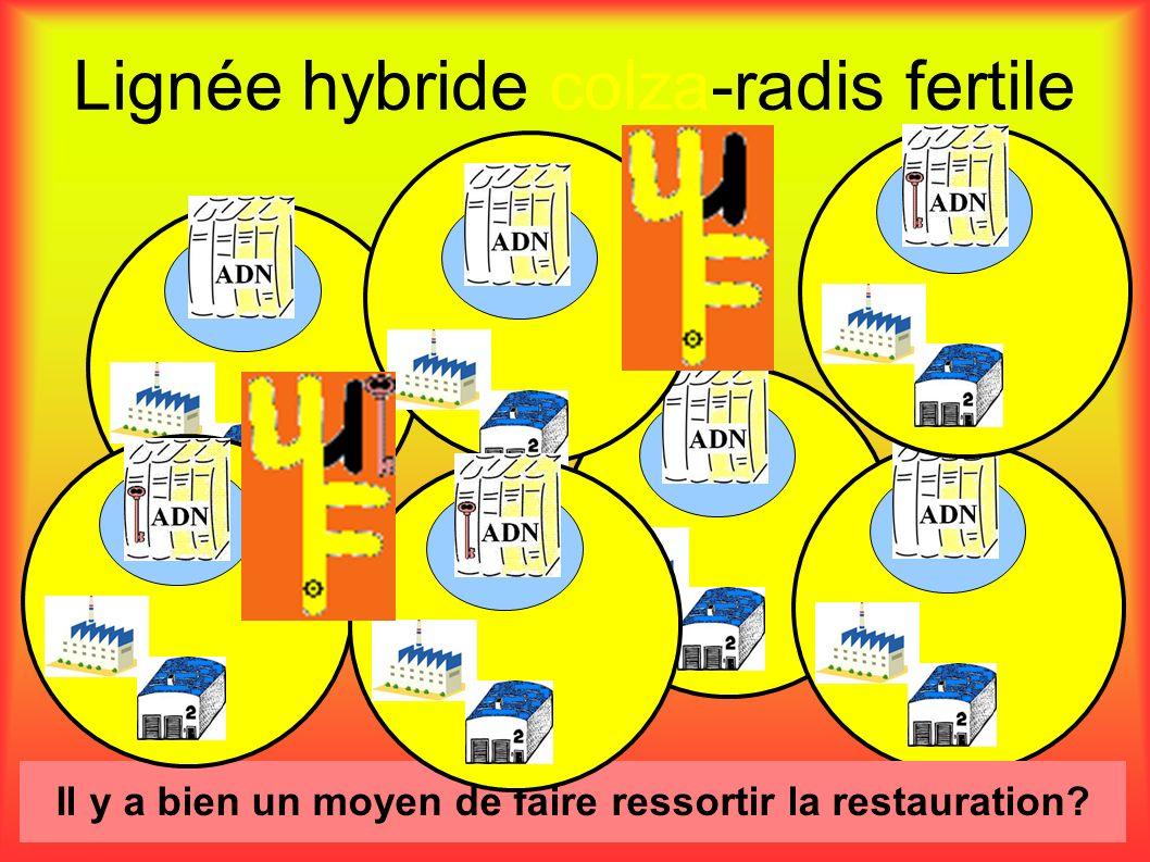 Lignée hybride colza-radis fertile Il y a bien un moyen de faire ressortir la restauration?