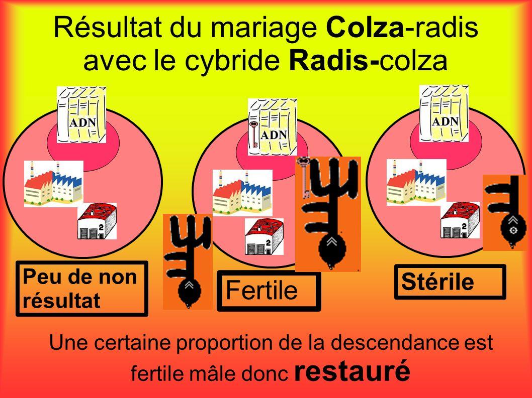 Résultat du mariage Colza-radis avec le cybride Radis-colza Peu de non résultat Stérile Fertile Une certaine proportion de la descendance est fertile