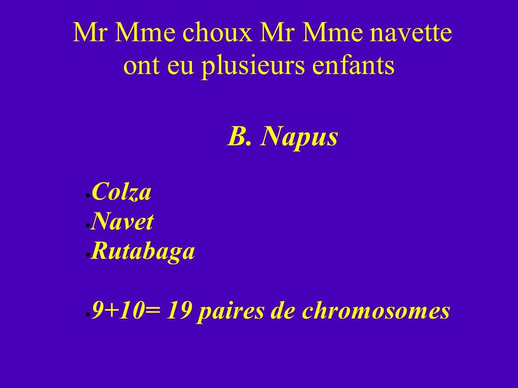 Mr Mme choux Mr Mme navette ont eu plusieurs enfants B. Napus Colza Navet Rutabaga 9+10= 19 paires de chromosomes