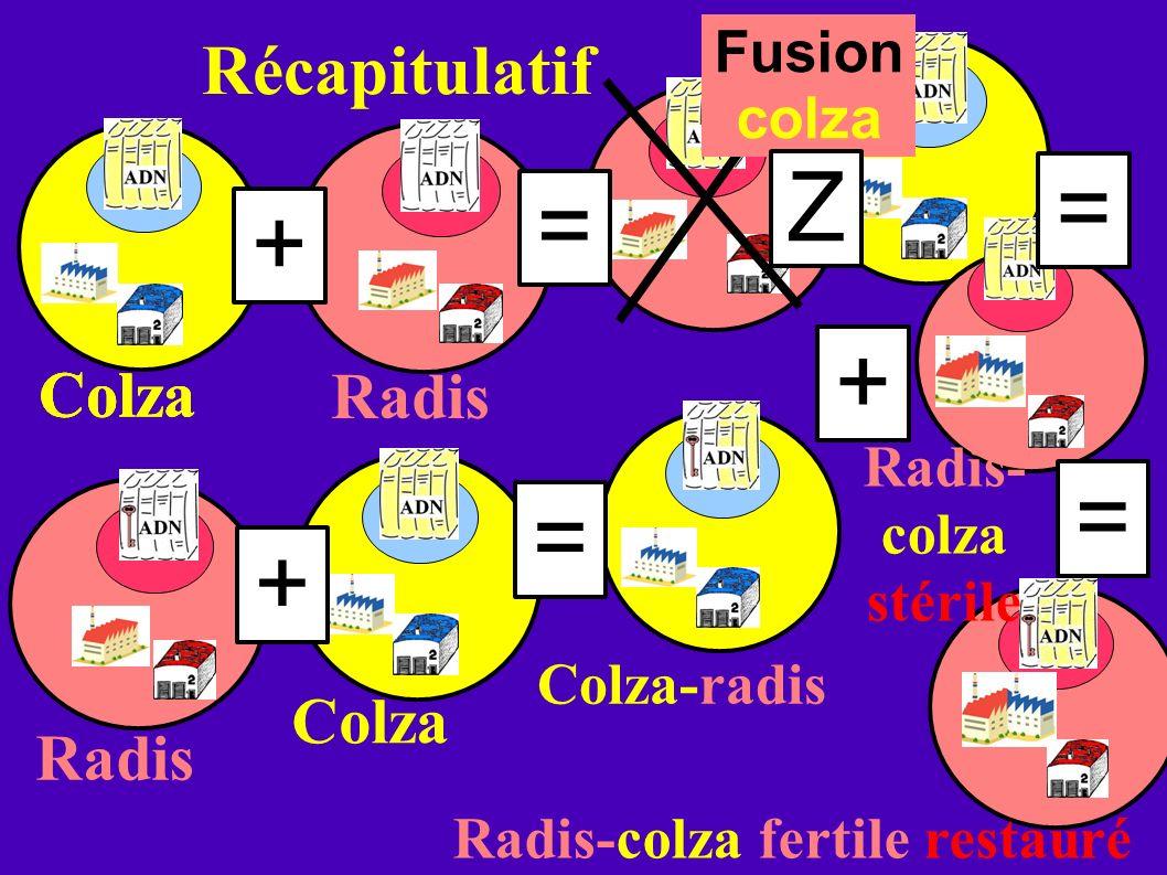 Récapitulatif Colza Radis Colza-radis Fusion colza Radis-colza fertile restauré Radis Colza + + + = = = Radis- colza stérile = Z