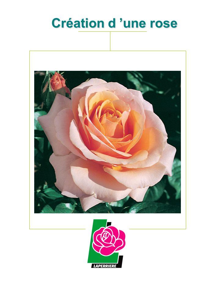 Ablation des étamines de la rose « mère » 3 3 Création d une rose Première année JUIN Hybridation sur rosiers tiges 1 1 La rose choisie comme « mère » est déshabillée 2 2