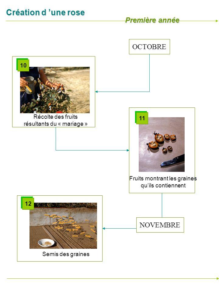 Création d une rose Récolte des fruits résultants du « mariage » 10 Semis des graines 12 OCTOBRE NOVEMBRE Première année Fruits montrant les graines q