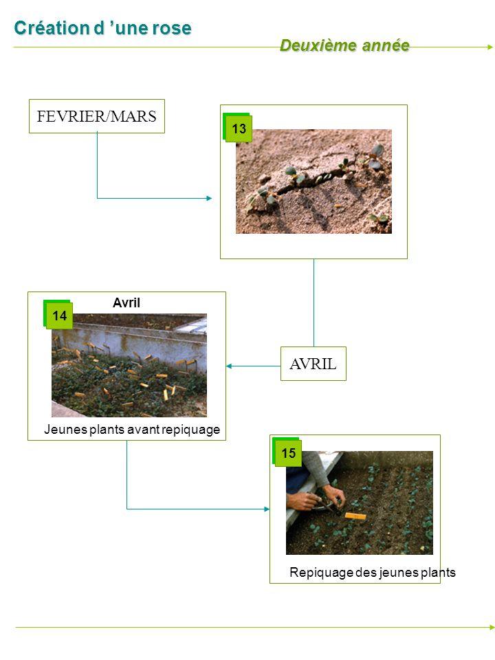 Création d une rose Repiquage des jeunes plants 15 Germination Jeunes plants avant repiquage 14 Avril FEVRIER/MARS 13 AVRIL Deuxième année