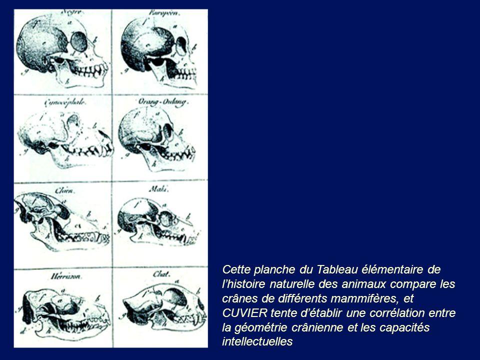 Cette planche du Tableau élémentaire de lhistoire naturelle des animaux compare les crânes de différents mammifères, et CUVIER tente détablir une corr
