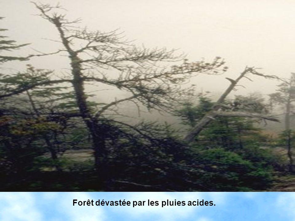 Forêt dévastée par les pluies acides.