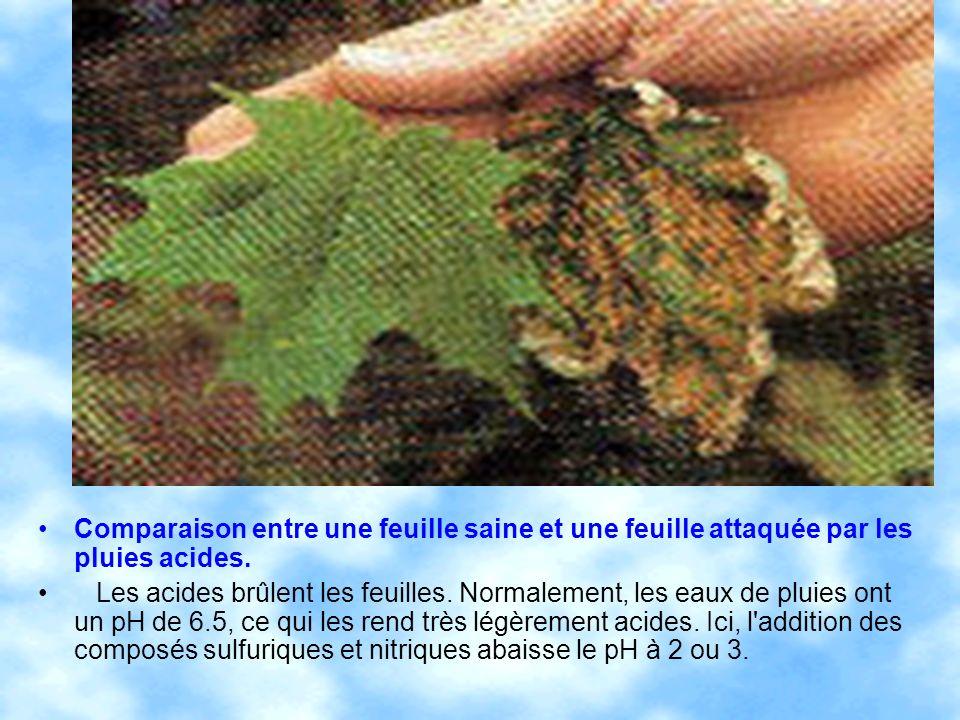 Comparaison entre une feuille saine et une feuille attaquée par les pluies acides. Les acides brûlent les feuilles. Normalement, les eaux de pluies on