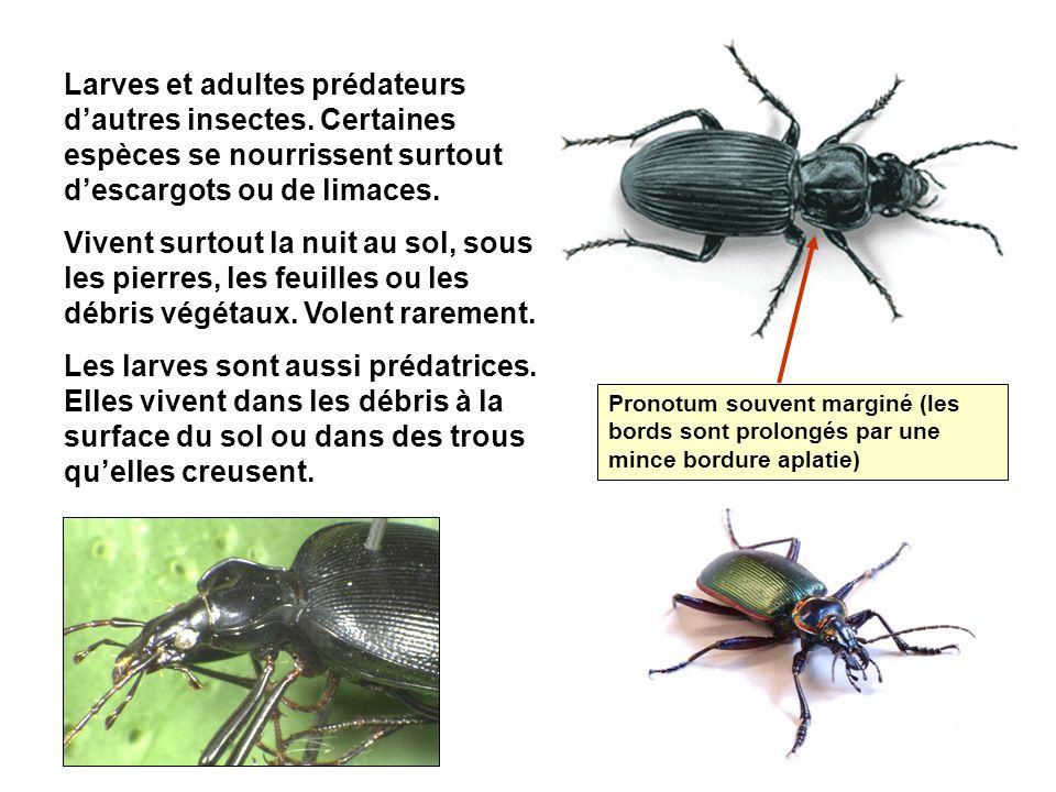 Larves et adultes prédateurs dautres insectes.