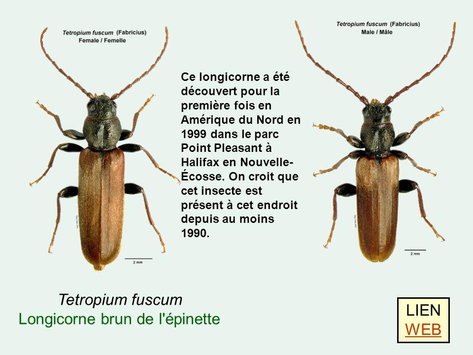 LIEN WEB WEB Tetropium fuscum Longicorne brun de l épinette Ce longicorne a été découvert pour la première fois en Amérique du Nord en 1999 dans le parc Point Pleasant à Halifax en Nouvelle- Écosse.