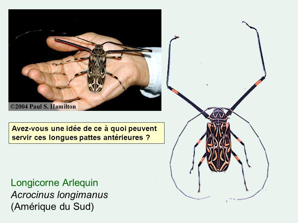 Longicorne Arlequin Acrocinus longimanus (Amérique du Sud) Avez-vous une idée de ce à quoi peuvent servir ces longues pattes antérieures ?