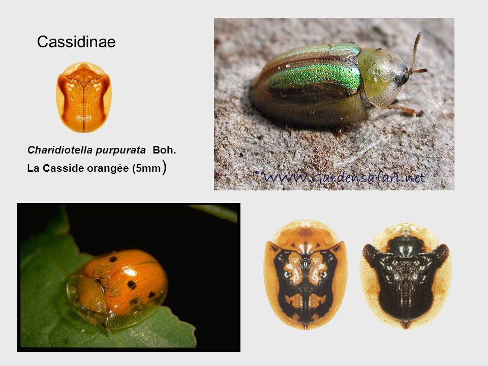 Cassidinae Charidiotella purpurata Boh. La Casside orangée (5mm )