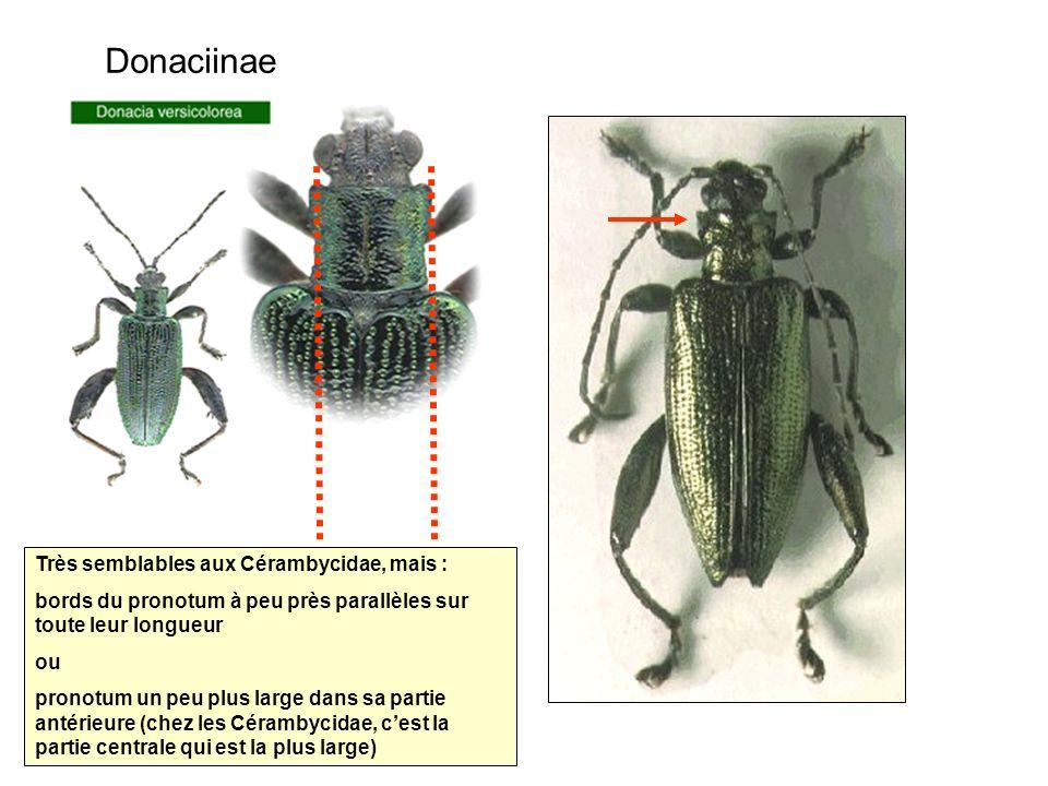 Donaciinae Très semblables aux Cérambycidae, mais : bords du pronotum à peu près parallèles sur toute leur longueur ou pronotum un peu plus large dans sa partie antérieure (chez les Cérambycidae, cest la partie centrale qui est la plus large)