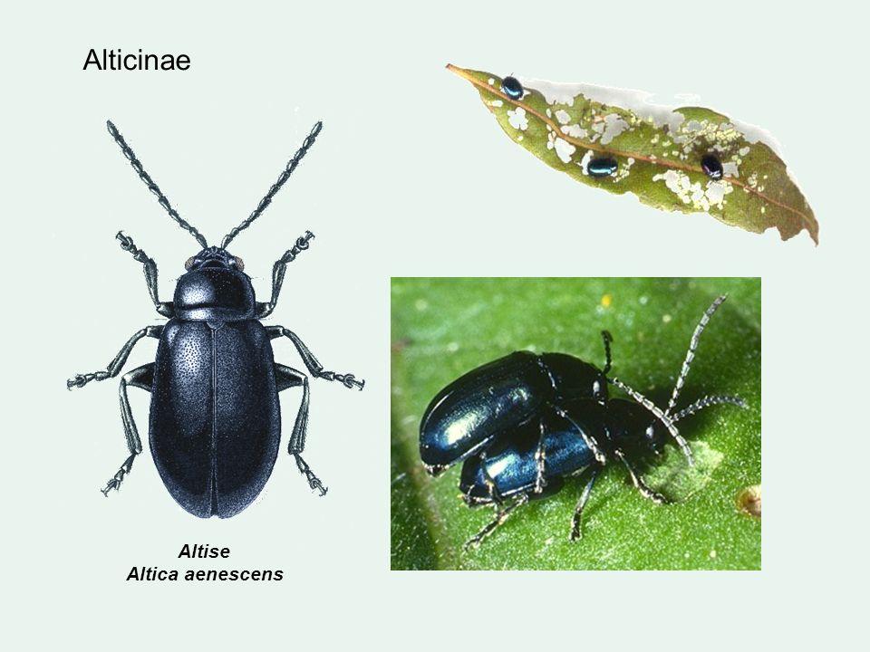 Alticinae Altise Altica aenescens