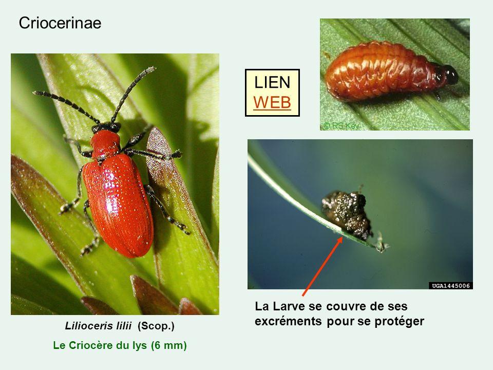 Criocerinae Lilioceris lilii (Scop.) Le Criocère du lys (6 mm) La Larve se couvre de ses excréments pour se protéger LIEN WEB WEB