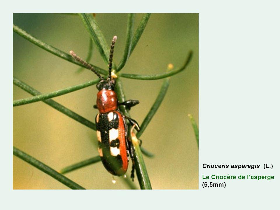 Crioceris asparagis (L.) Le Criocère de lasperge (6,5mm)
