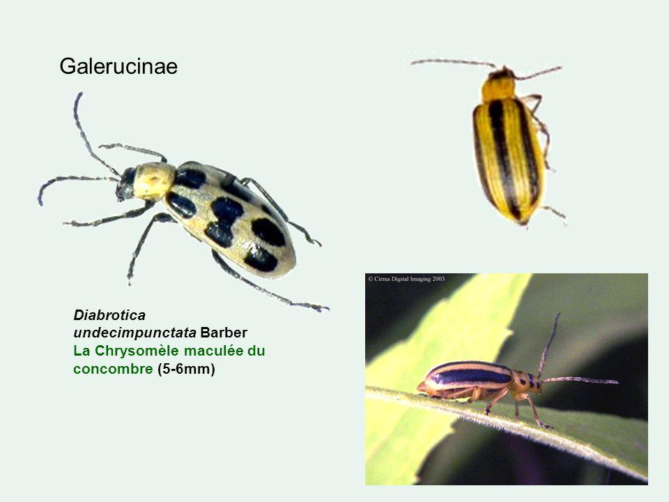 Galerucinae Diabrotica undecimpunctata Barber La Chrysomèle maculée du concombre (5-6mm)
