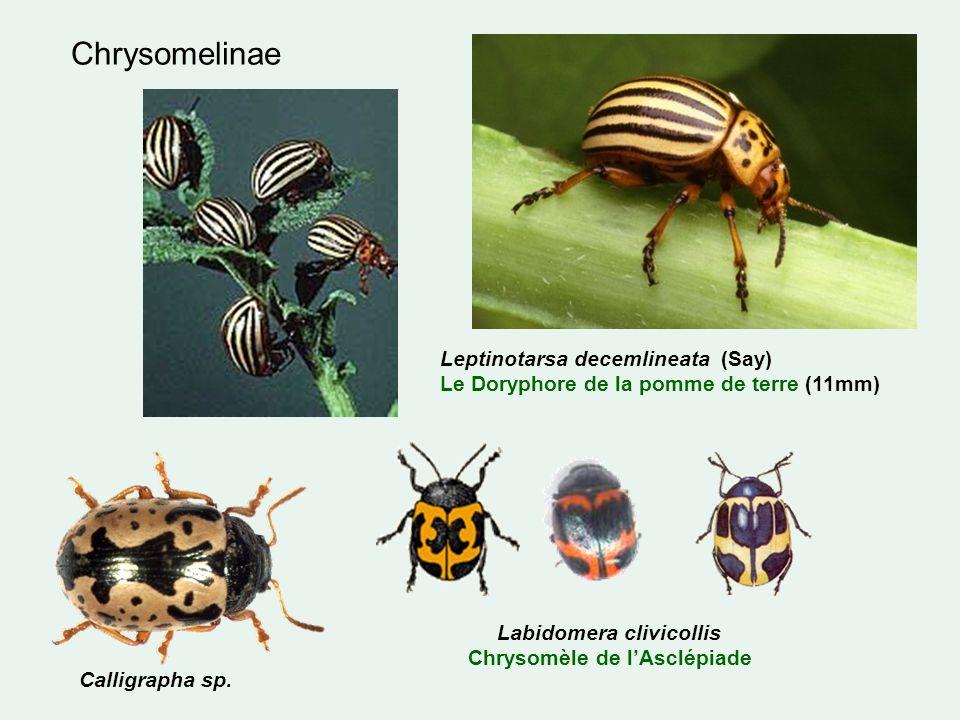 Chrysomelinae Leptinotarsa decemlineata (Say) Le Doryphore de la pomme de terre (11mm) Calligrapha sp.