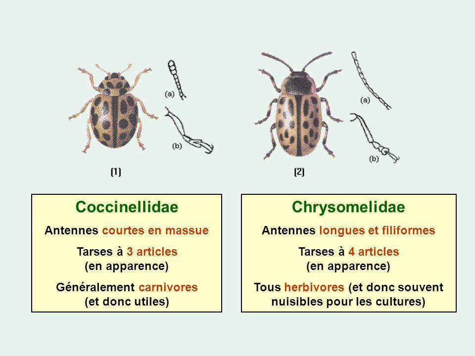 Coccinellidae Antennes courtes en massue Tarses à 3 articles (en apparence) Généralement carnivores (et donc utiles) Chrysomelidae Antennes longues et filiformes Tarses à 4 articles (en apparence) Tous herbivores (et donc souvent nuisibles pour les cultures)