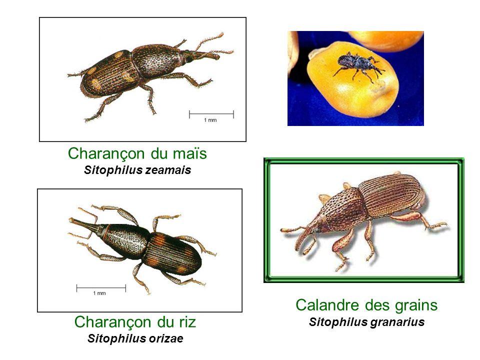 Charançon du riz Sitophilus orizae Charançon du maïs Sitophilus zeamais Calandre des grains Sitophilus granarius