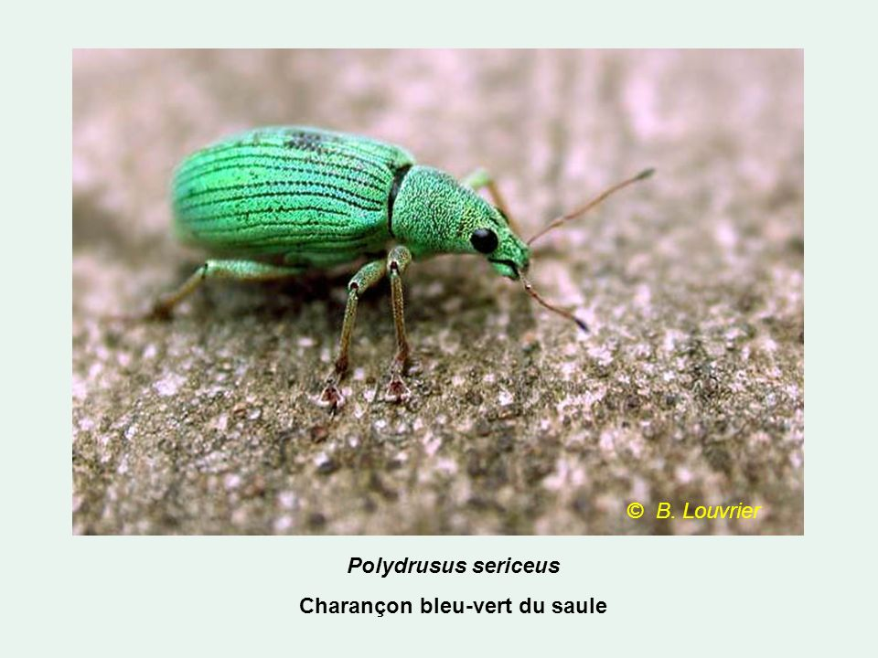Polydrusus sericeus Charançon bleu-vert du saule © B. Louvrier