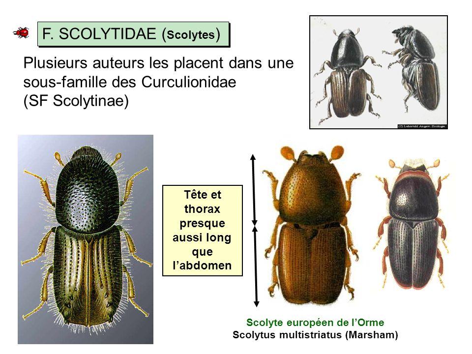 Plusieurs auteurs les placent dans une sous-famille des Curculionidae (SF Scolytinae) F.