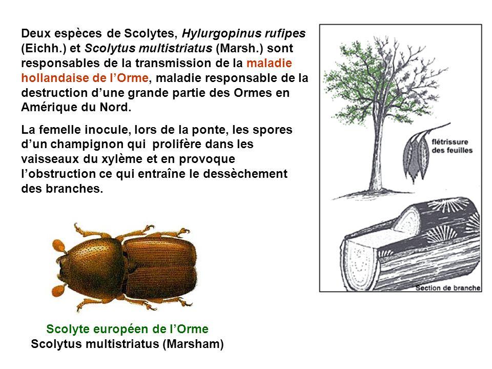Deux espèces de Scolytes, Hylurgopinus rufipes (Eichh.) et Scolytus multistriatus (Marsh.) sont responsables de la transmission de la maladie hollandaise de lOrme, maladie responsable de la destruction dune grande partie des Ormes en Amérique du Nord.