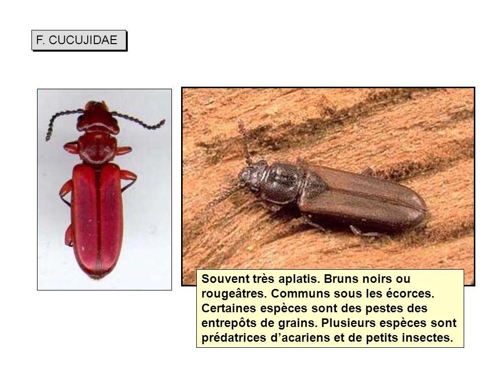 F.CUCUJIDAE Souvent très aplatis. Bruns noirs ou rougeâtres.