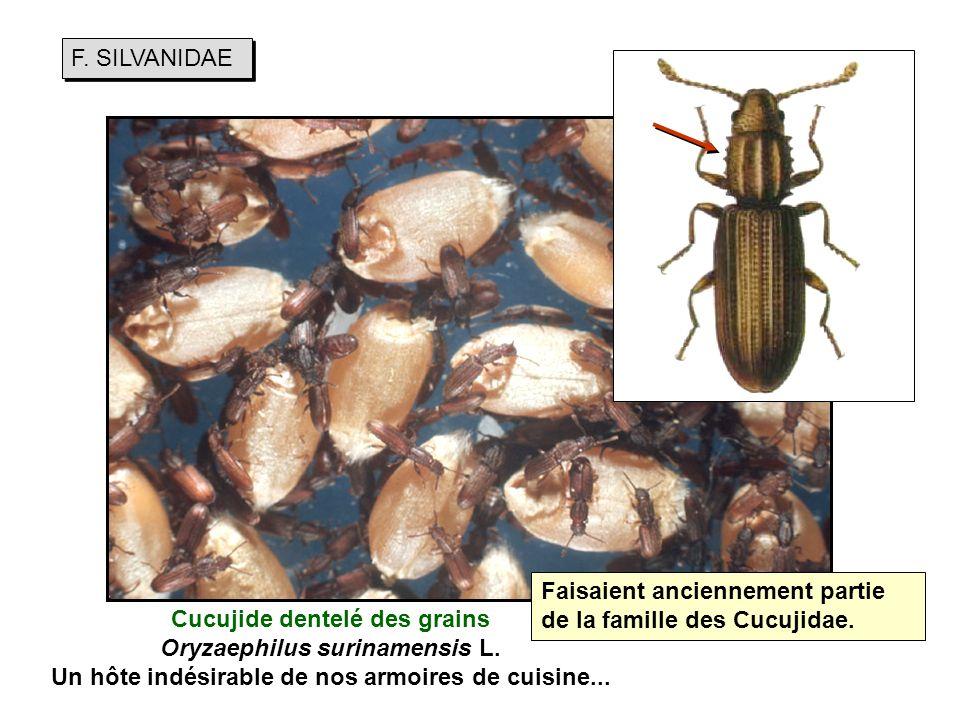 F.SILVANIDAE Cucujide dentelé des grains Oryzaephilus surinamensis L.