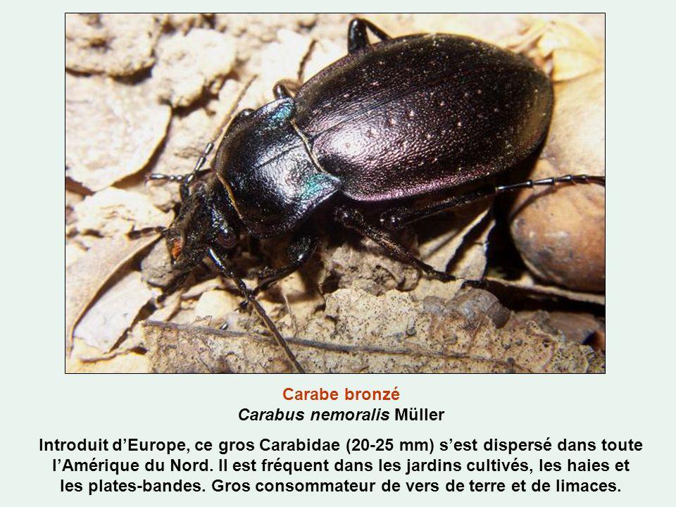 Carabe bronzé Carabus nemoralis Müller Introduit dEurope, ce gros Carabidae (20-25 mm) sest dispersé dans toute lAmérique du Nord.