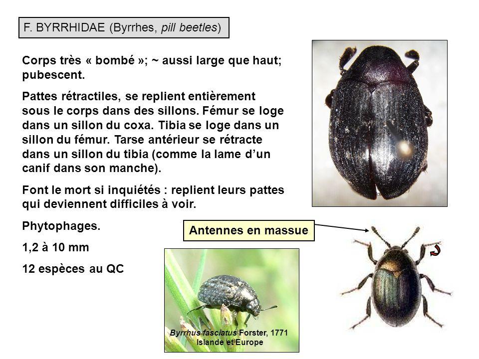 F.BYRRHIDAE (Byrrhes, pill beetles) Corps très « bombé »; ~ aussi large que haut; pubescent.