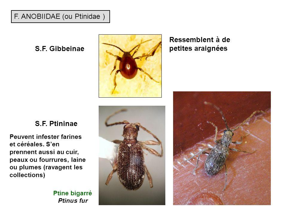 F.ANOBIIDAE (ou Ptinidae ) S.F. Gibbeinae S.F.