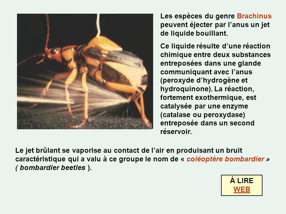 Les espèces du genre Brachinus peuvent éjecter par lanus un jet de liquide bouillant.