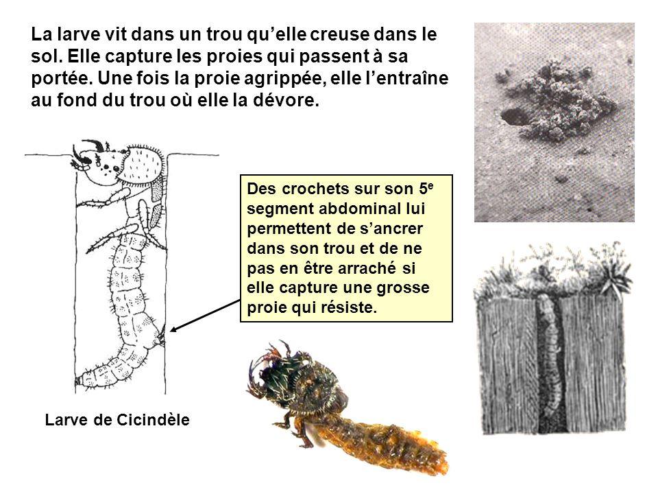 Larve de Cicindèle La larve vit dans un trou quelle creuse dans le sol.
