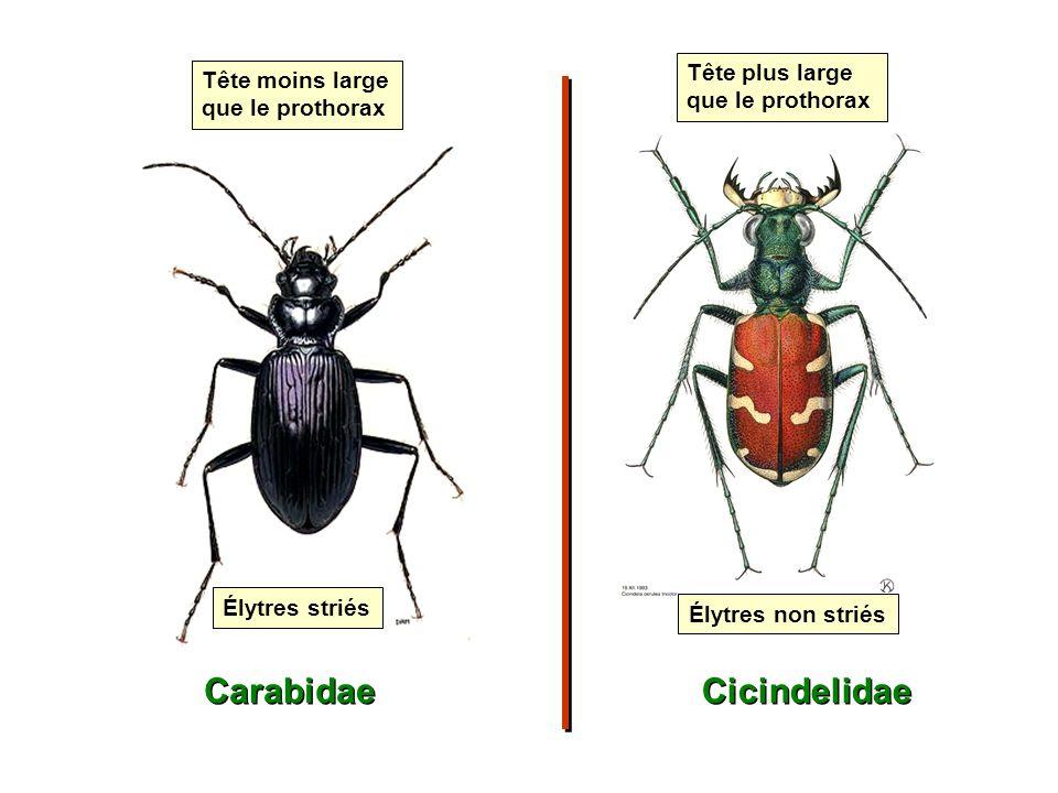 Carabidae Cicindelidae Élytres non striés Tête plus large que le prothorax Tête moins large que le prothorax Élytres striés