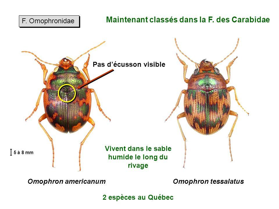 F.Omophronidae Omophron americanumOmophron tessalatus Maintenant classés dans la F.