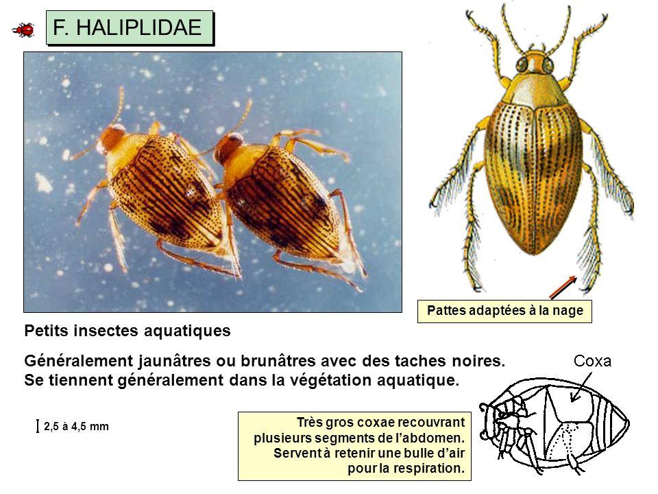 F.HALIPLIDAE Très gros coxae recouvrant plusieurs segments de labdomen.