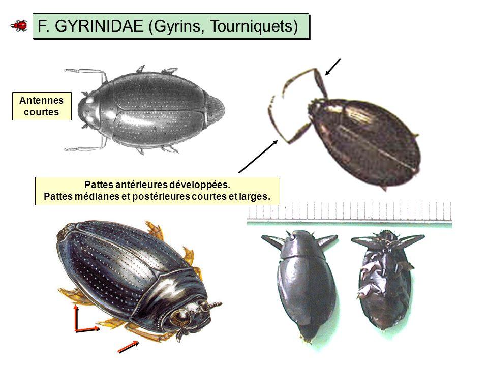 F.GYRINIDAE (Gyrins, Tourniquets) Antennes courtes Pattes antérieures développées.