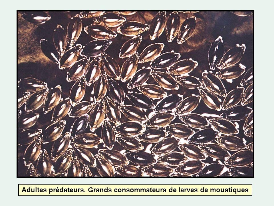 Adultes prédateurs. Grands consommateurs de larves de moustiques