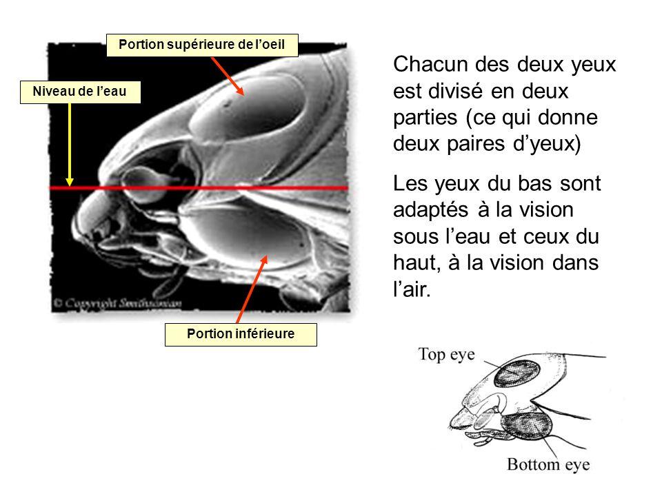 Chacun des deux yeux est divisé en deux parties (ce qui donne deux paires dyeux) Les yeux du bas sont adaptés à la vision sous leau et ceux du haut, à la vision dans lair.