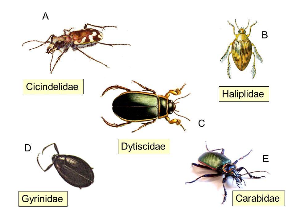Cicindelidae Gyrinidae Carabidae Haliplidae Dytiscidae A B C D E