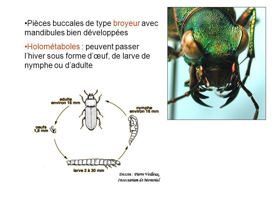 Pièces buccales de type broyeur avec mandibules bien développées Holométaboles : peuvent passer lhiver sous forme dœuf, de larve de nymphe ou dadulte Dessin : Pierre Veilleux, Insectarium de Montréal