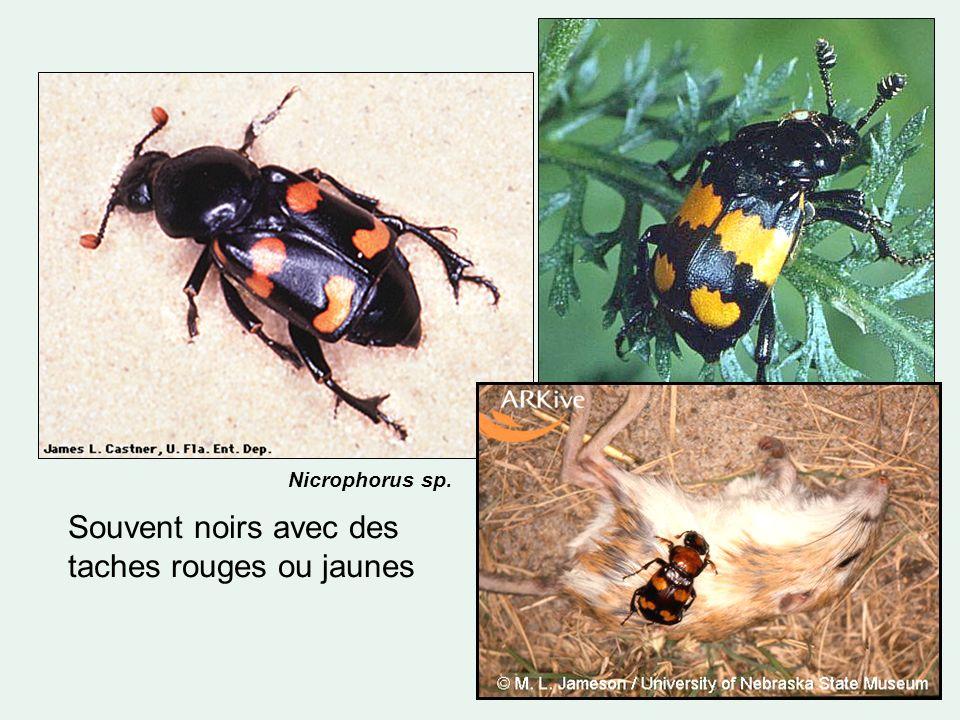 Souvent noirs avec des taches rouges ou jaunes Nicrophorus sp.
