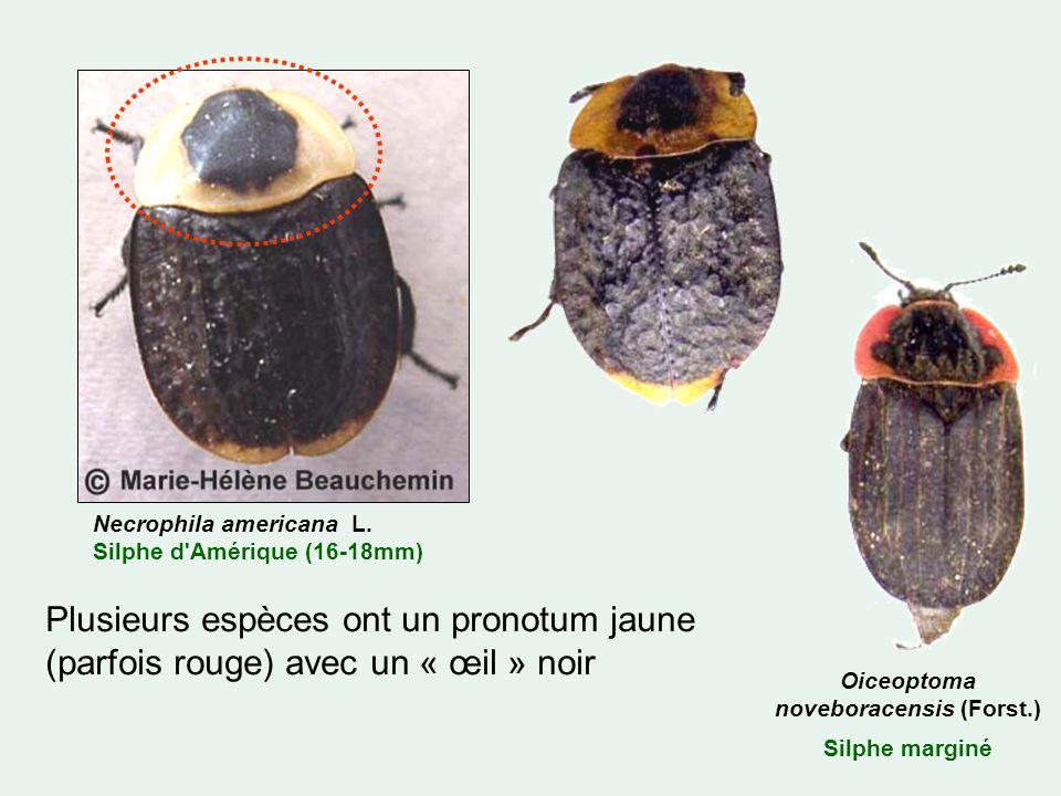 Plusieurs espèces ont un pronotum jaune (parfois rouge) avec un « œil » noir Oiceoptoma noveboracensis (Forst.) Silphe marginé Necrophila americana L.
