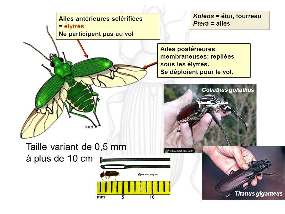 Koleos = étui, fourreau Ptera = ailes Taille variant de 0,5 mm à plus de 10 cm Goliathus goliathus Titanus giganteus Ailes antérieures sclérifiées = élytres Ne participent pas au vol Ailes postérieures membraneuses; repliées sous les élytres.