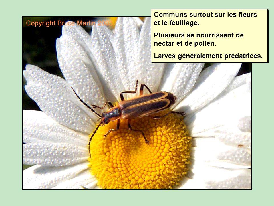 Communs surtout sur les fleurs et le feuillage.Plusieurs se nourrissent de nectar et de pollen.