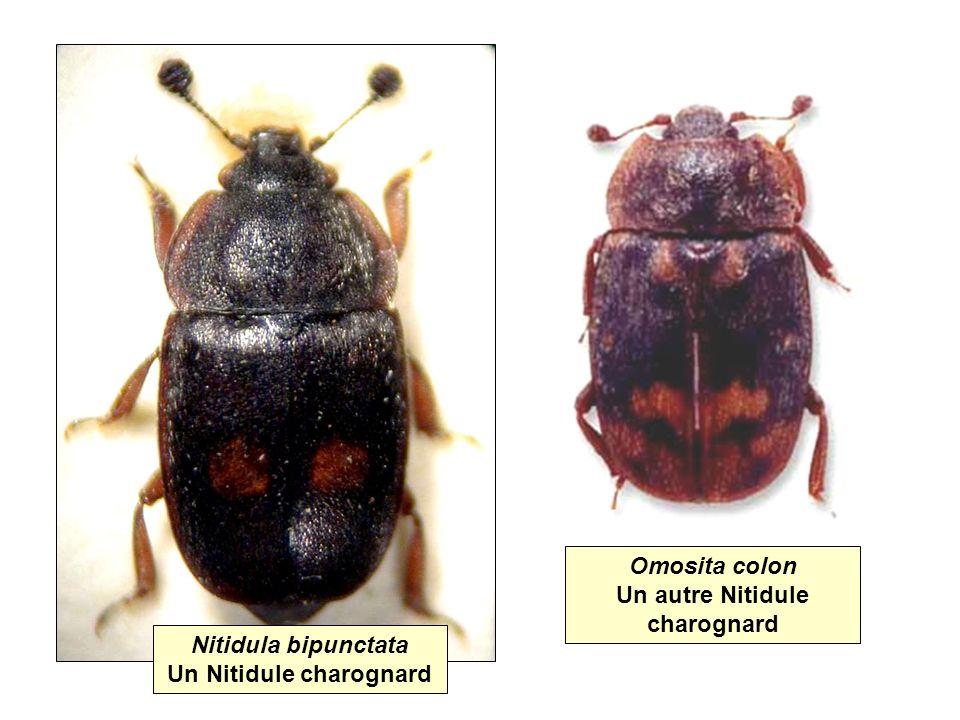 Nitidula bipunctata Un Nitidule charognard Omosita colon Un autre Nitidule charognard
