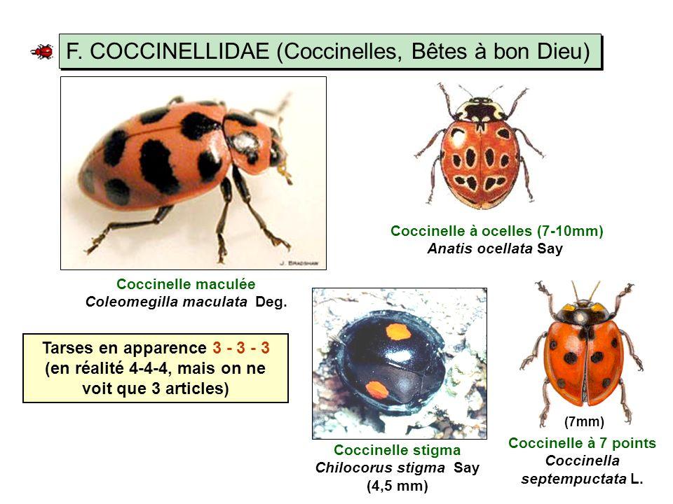 F.COCCINELLIDAE (Coccinelles, Bêtes à bon Dieu) Coccinelle maculée Coleomegilla maculata Deg.