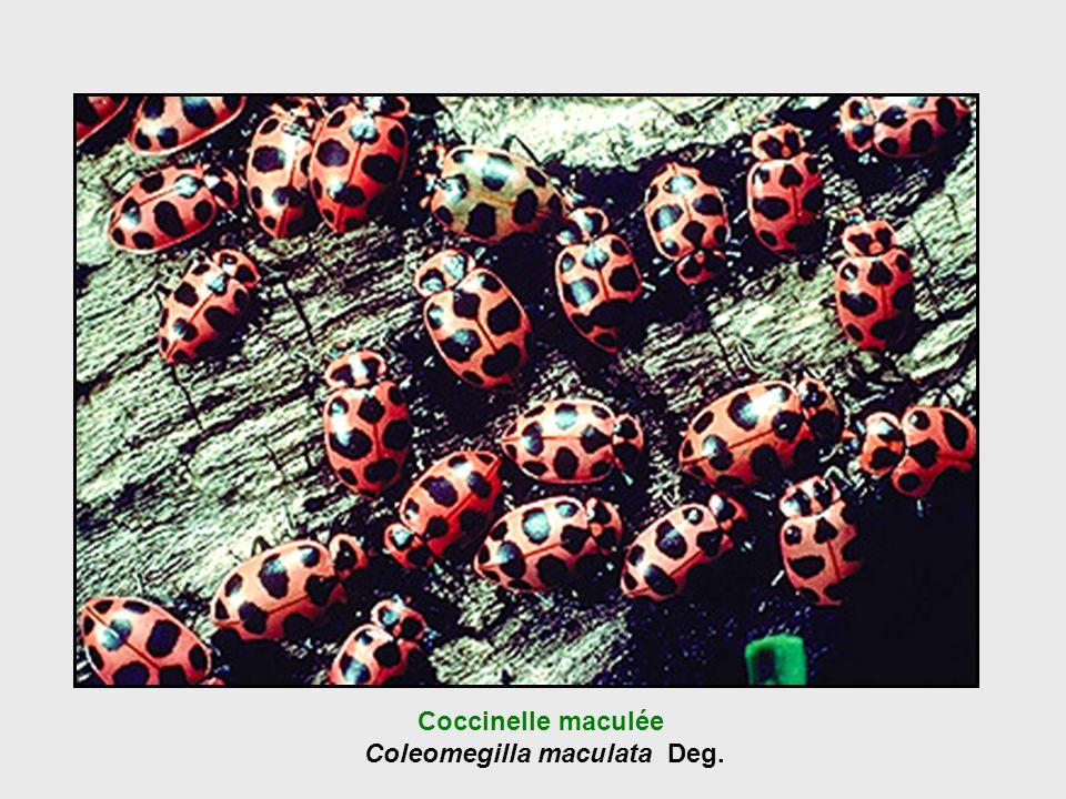 Coccinelle maculée Coleomegilla maculata Deg.