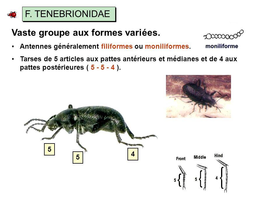 F.TENEBRIONIDAE Vaste groupe aux formes variées. Antennes généralement filiformes ou moniliformes.