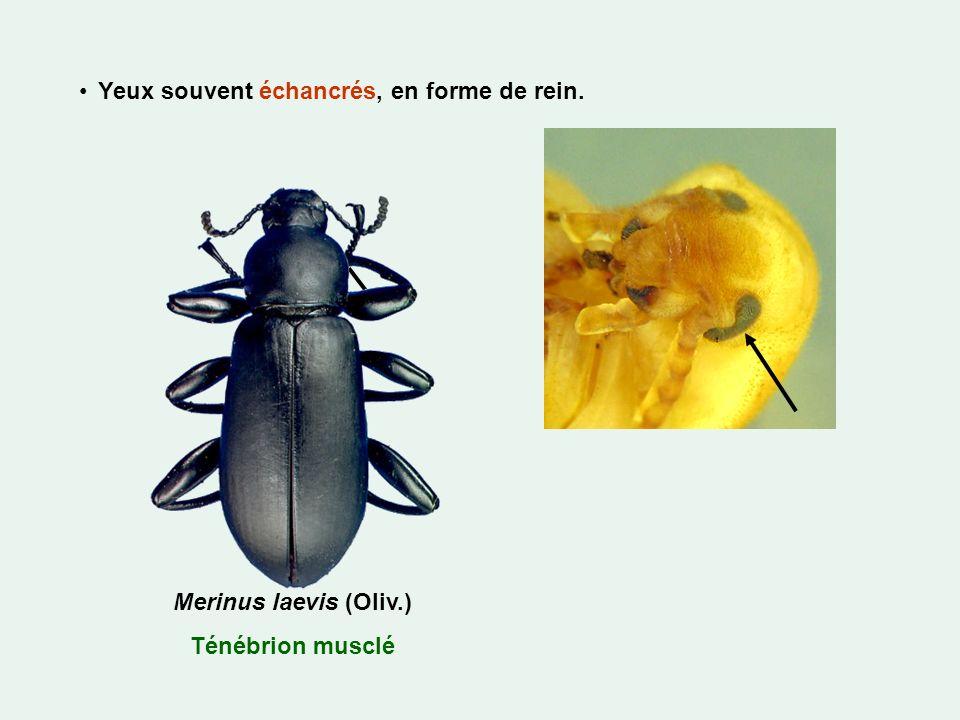Yeux souvent échancrés, en forme de rein. Merinus laevis (Oliv.) Ténébrion musclé