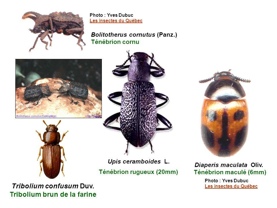 Tribolium confusum Duv.Tribolium brun de la farine Diaperis maculata Oliv.